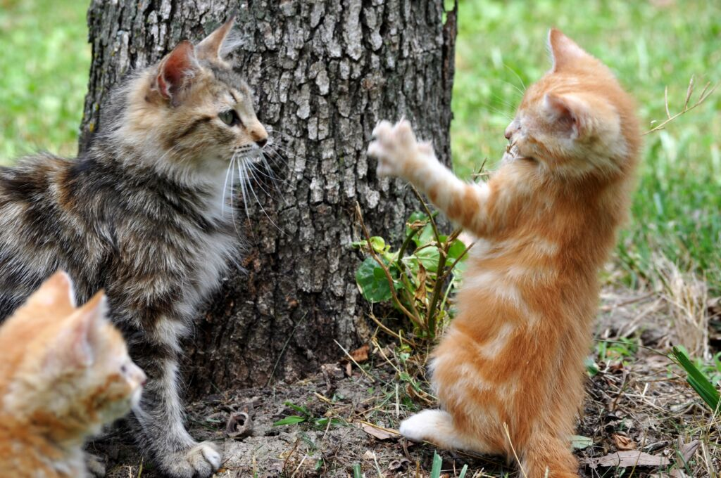 Two kittens meeting for the first time, observed by a third. One looks suspicious and the other is hostile.